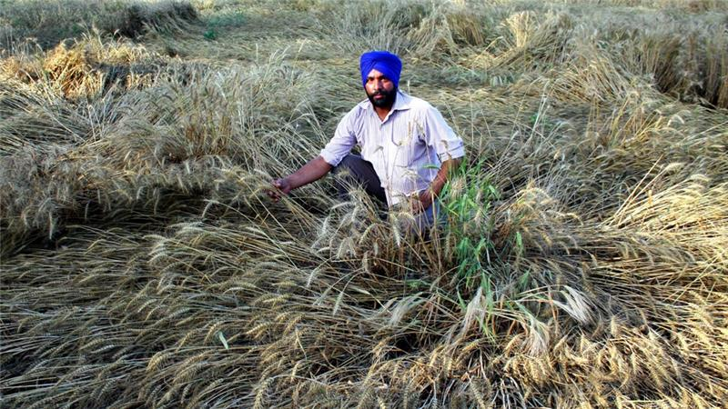 A farmer in Patiala, India shows damage to wheat caused by unseasonably heavy rains this past April. Climate change dangers may help bring together India and Pakistan like nothing else can. Photo: Getty Images via aljazeera.com