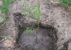 My tree - planted at Makindu