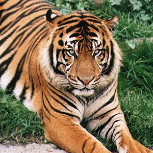 Bounding Tiger Foreign Policy Blogs